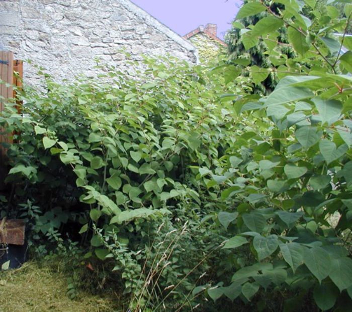 Garden-Weeds-Knotweed