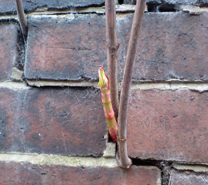 Knotweed-Damage