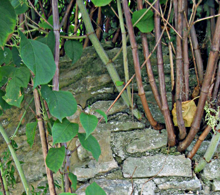 Knotweed-Damage-2