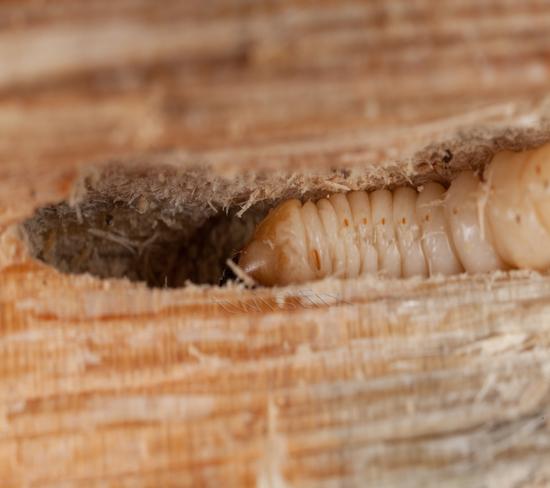 Woodworm Infestation Twistfix
