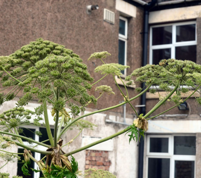 Hogweed in gardens